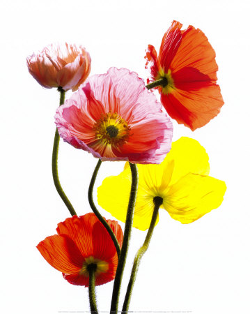 cedric-porchez-multi-colored-poppies-posters