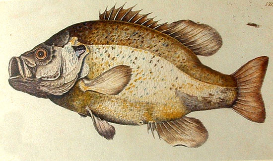 Dibujo de una Mojarra golosa de William Bartram