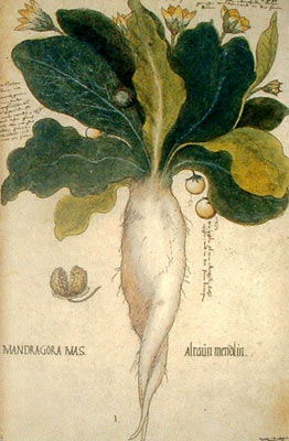 Dibujo de una Mandrágora