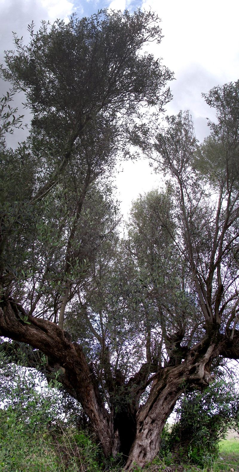 Un Olivo centenario