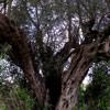 Fotos Gratis Un Olivo centenario