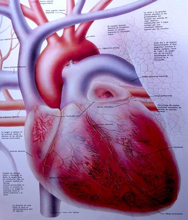 Ilustración infográfica del corazón
