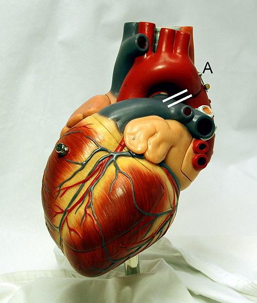 Pintar la anatomía de un corazón | Pintura y Artistas
