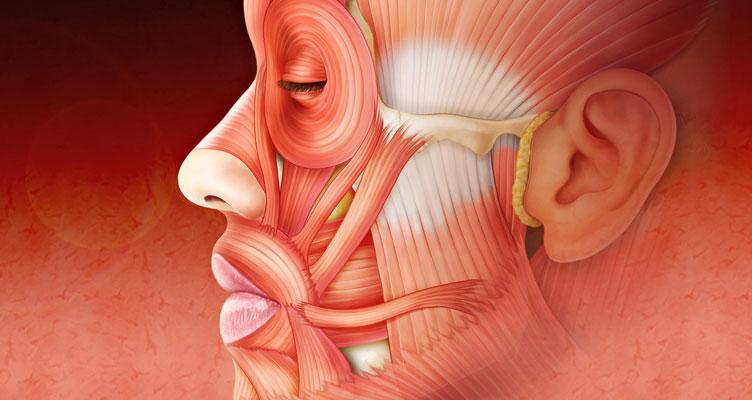 Ilustraciones médicas - Anatomía