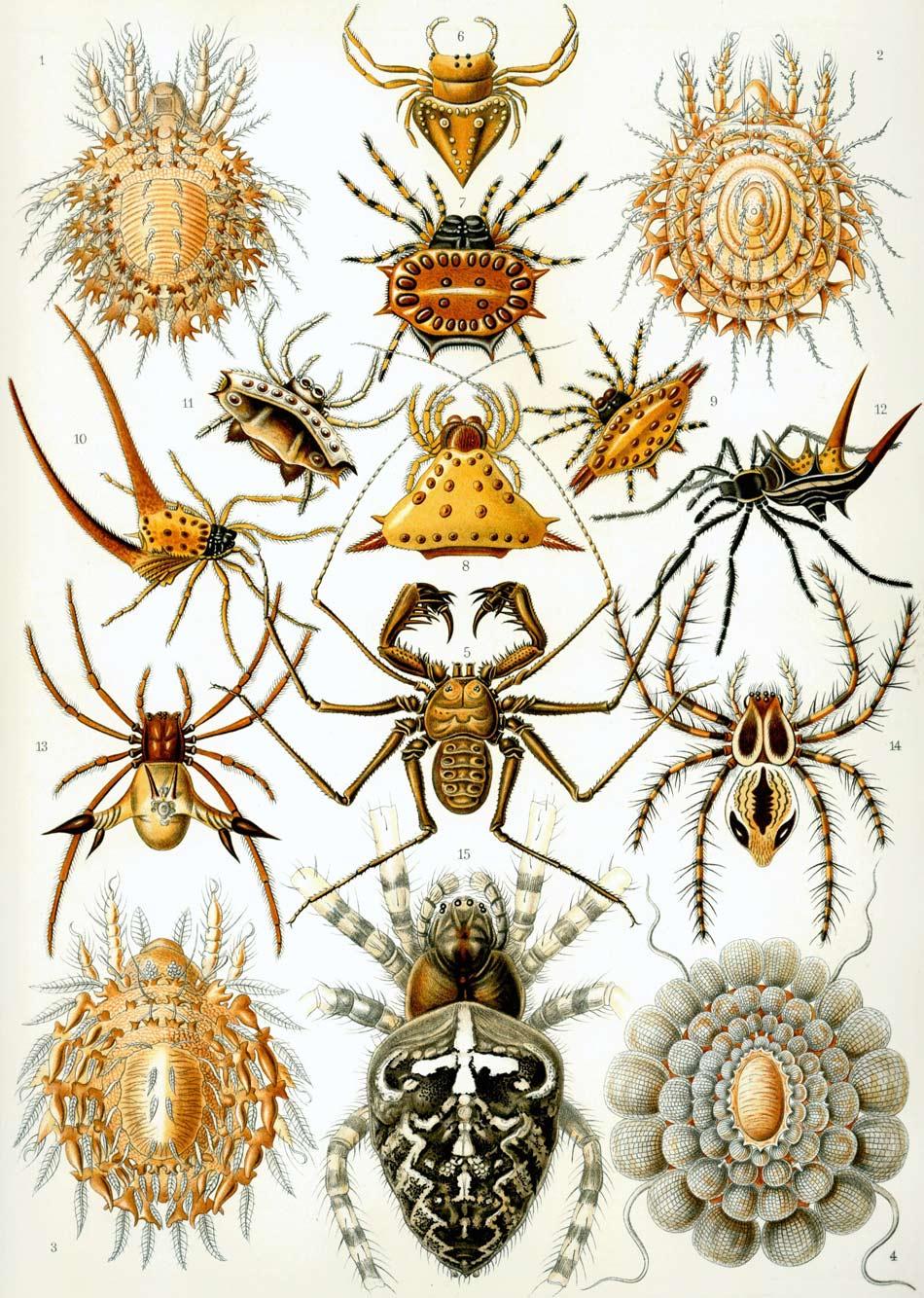 Ilustración de las arañas, Arachnida