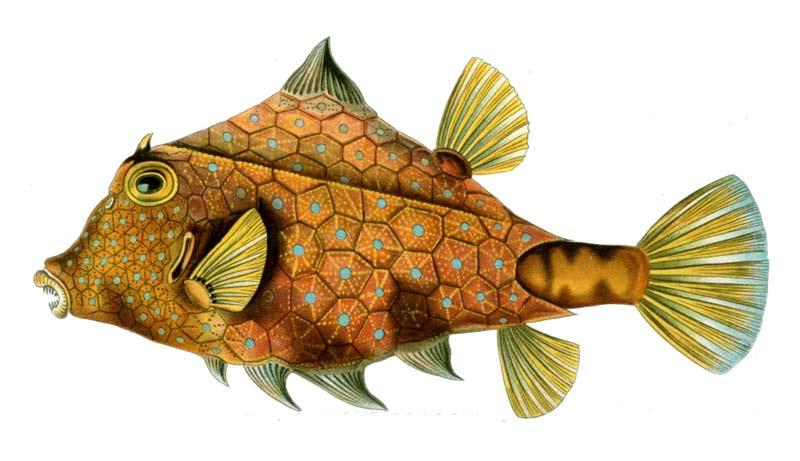Detalle de la ilustración Tetrosomus gibbosus