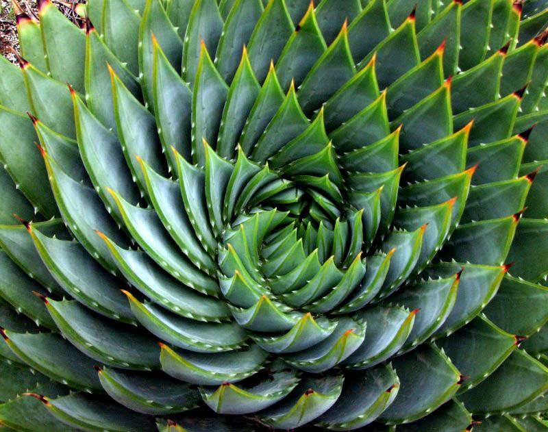 Aloe Vera con las espirales áureas