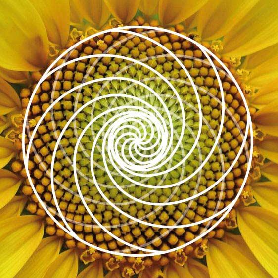La espiral áurea - Modelo del girasol