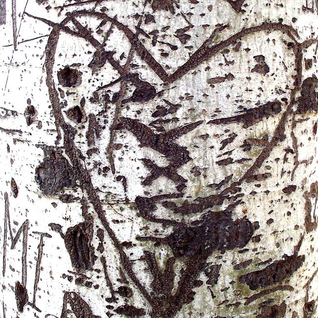 Corteza de chopo con un corazón