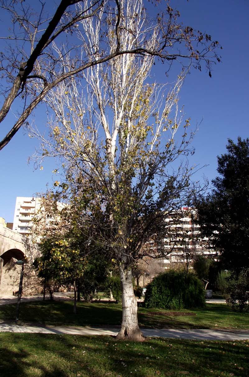 Chopo - silueta entera del árbol