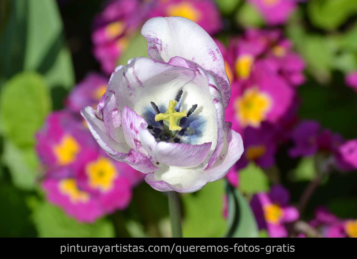 Interior de un tulipán blanco - Descarga Fotos gratis