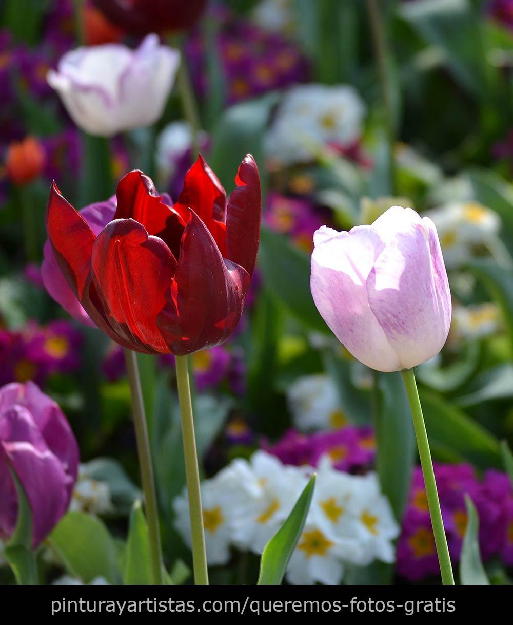 Tulipanes que dicen te quiero - Descarga Fotos gratis