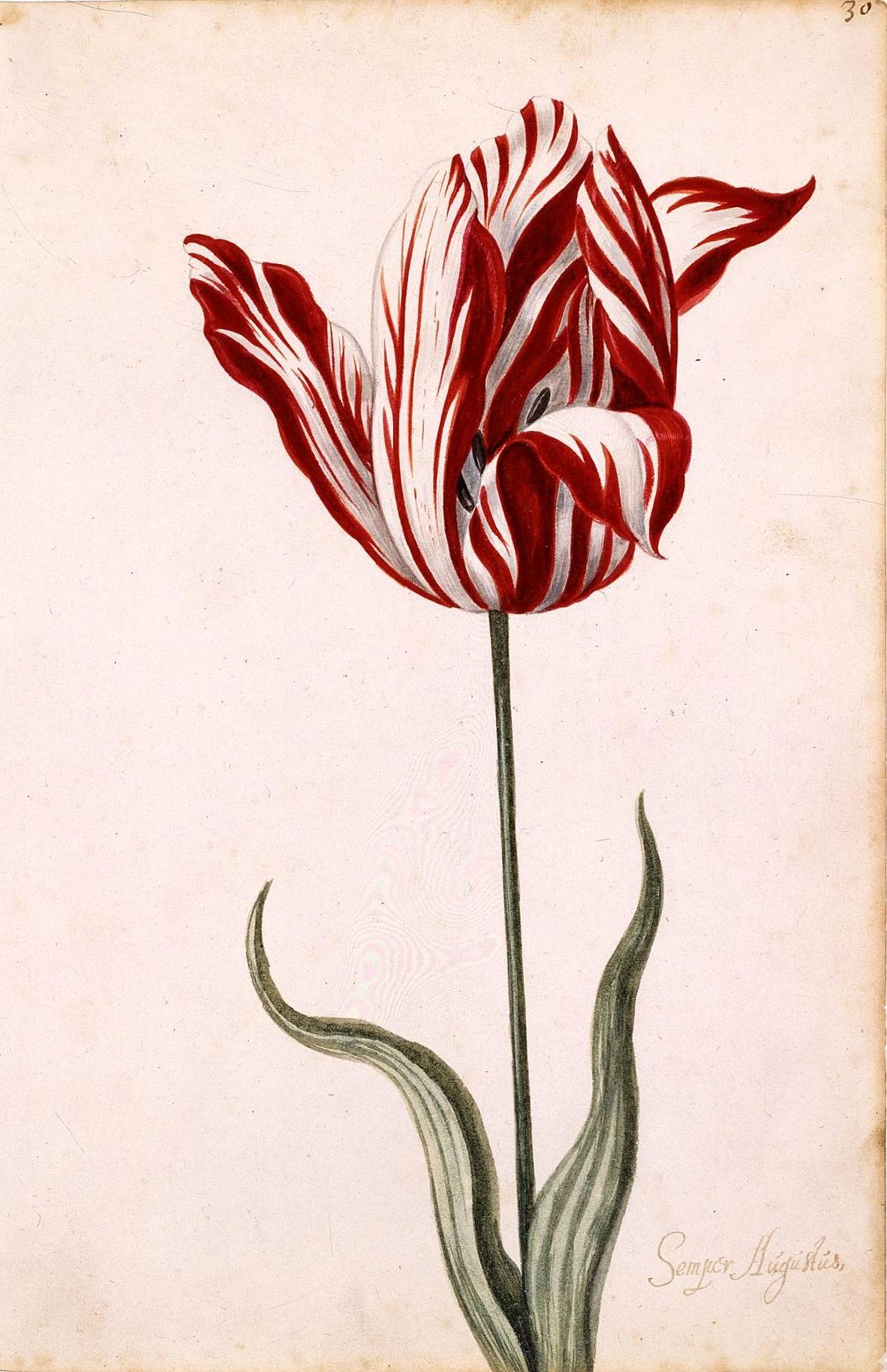 Tulipán Semper Augustus, pintado con acuarela
