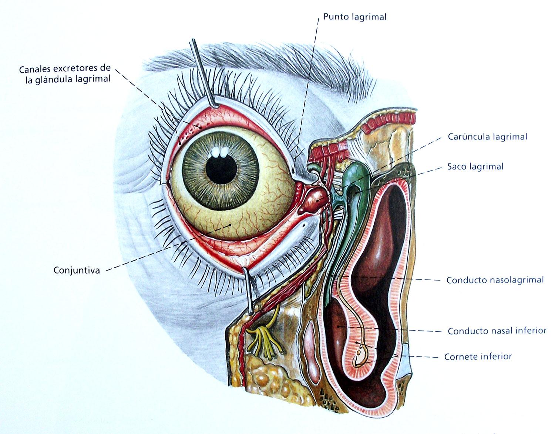 Anatomical drawing of an eye