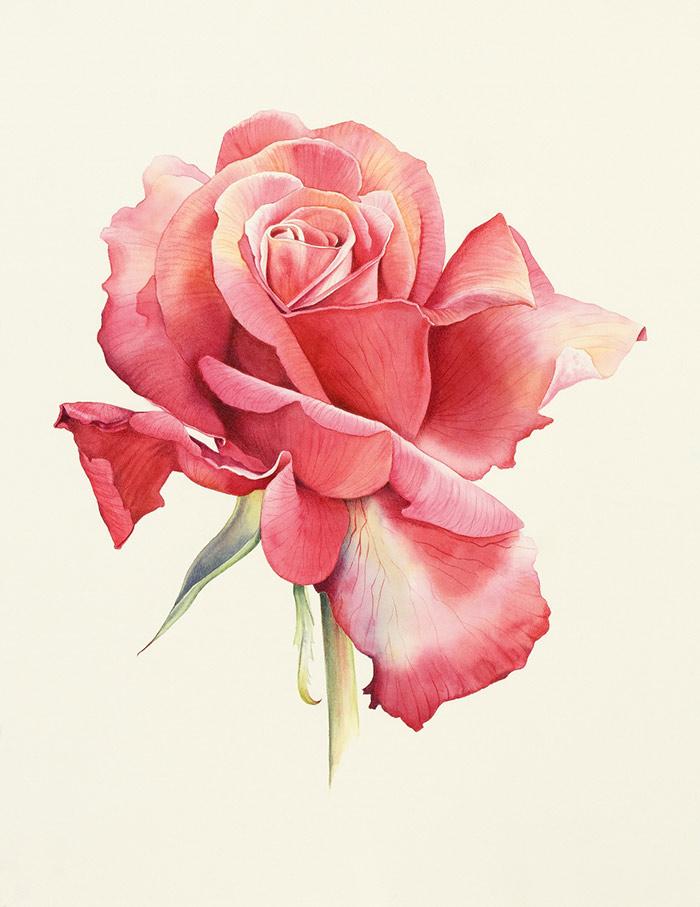 Ilustración botánica de una rosa de Wilbraham