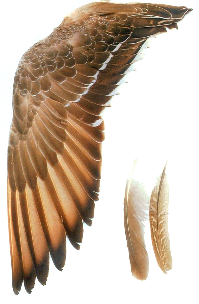 Ala de ave extendida en vertical