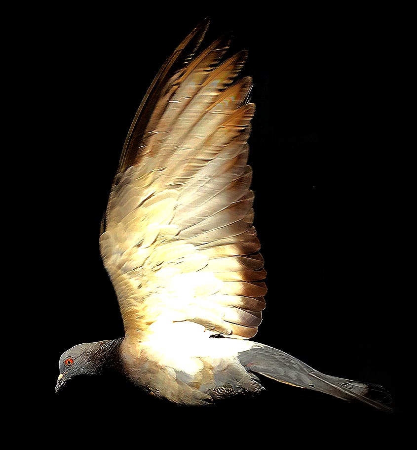 Alas de una paloma