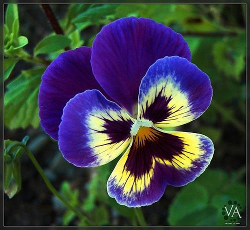 Pensamientos flores azules