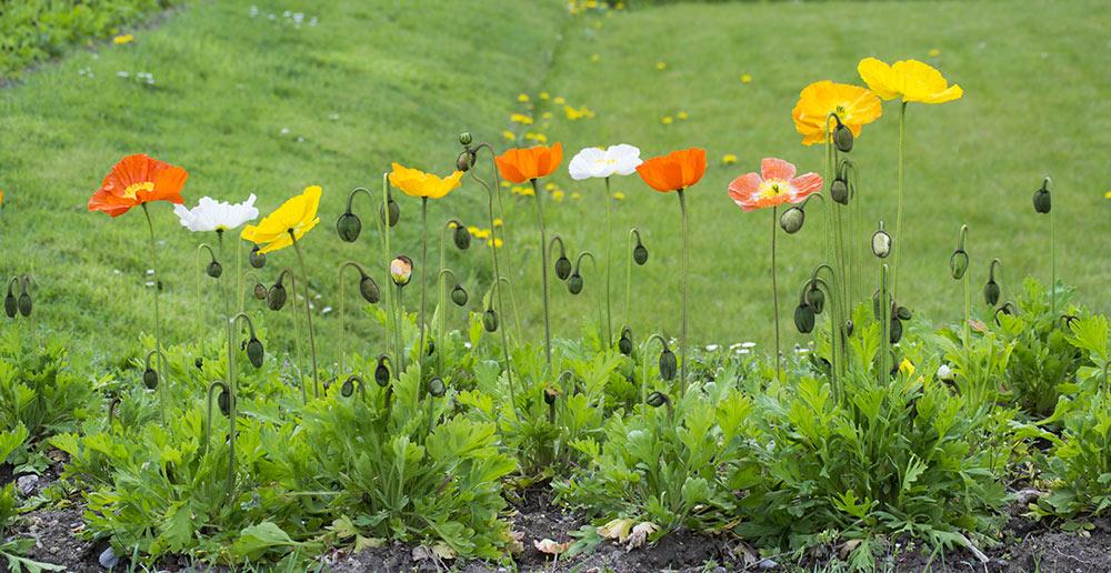 Amapolas en el jardin de plantas de París