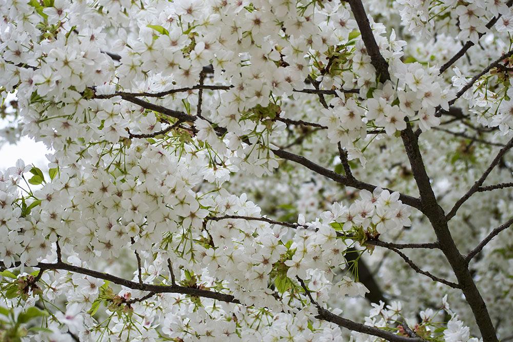 Cerezos flor blanca