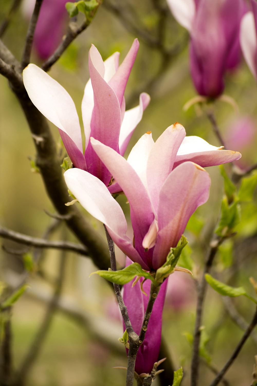 Magnolias en  Primavera