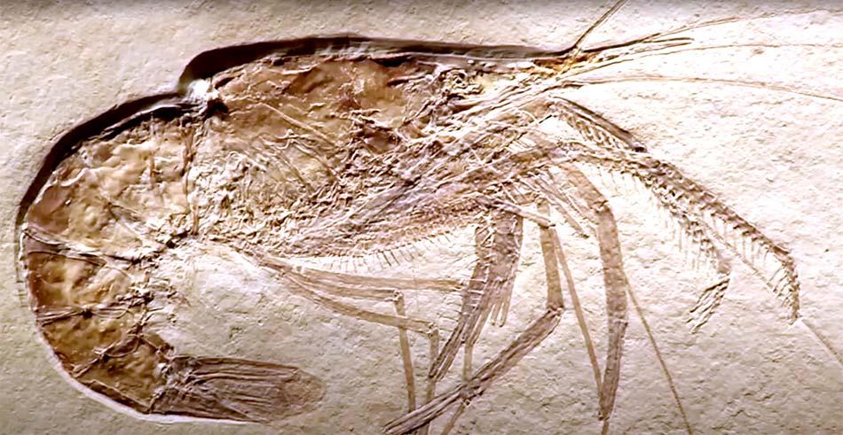 fósil gamba