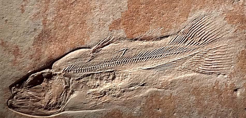 fósil de un pez primitivo tipo dorada