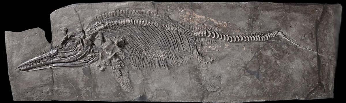 fósil lagarto marino